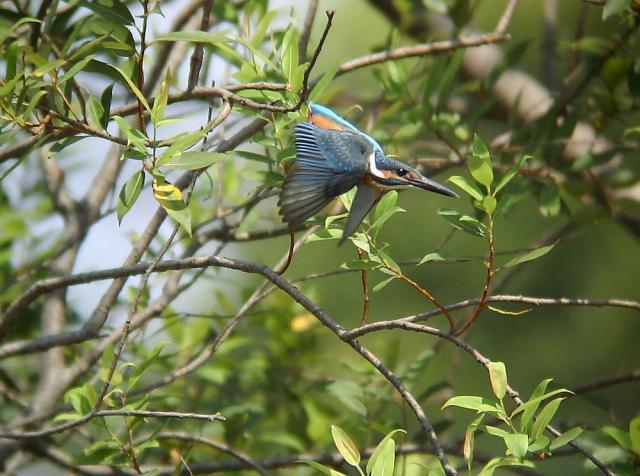 幼鳥の飛翔1